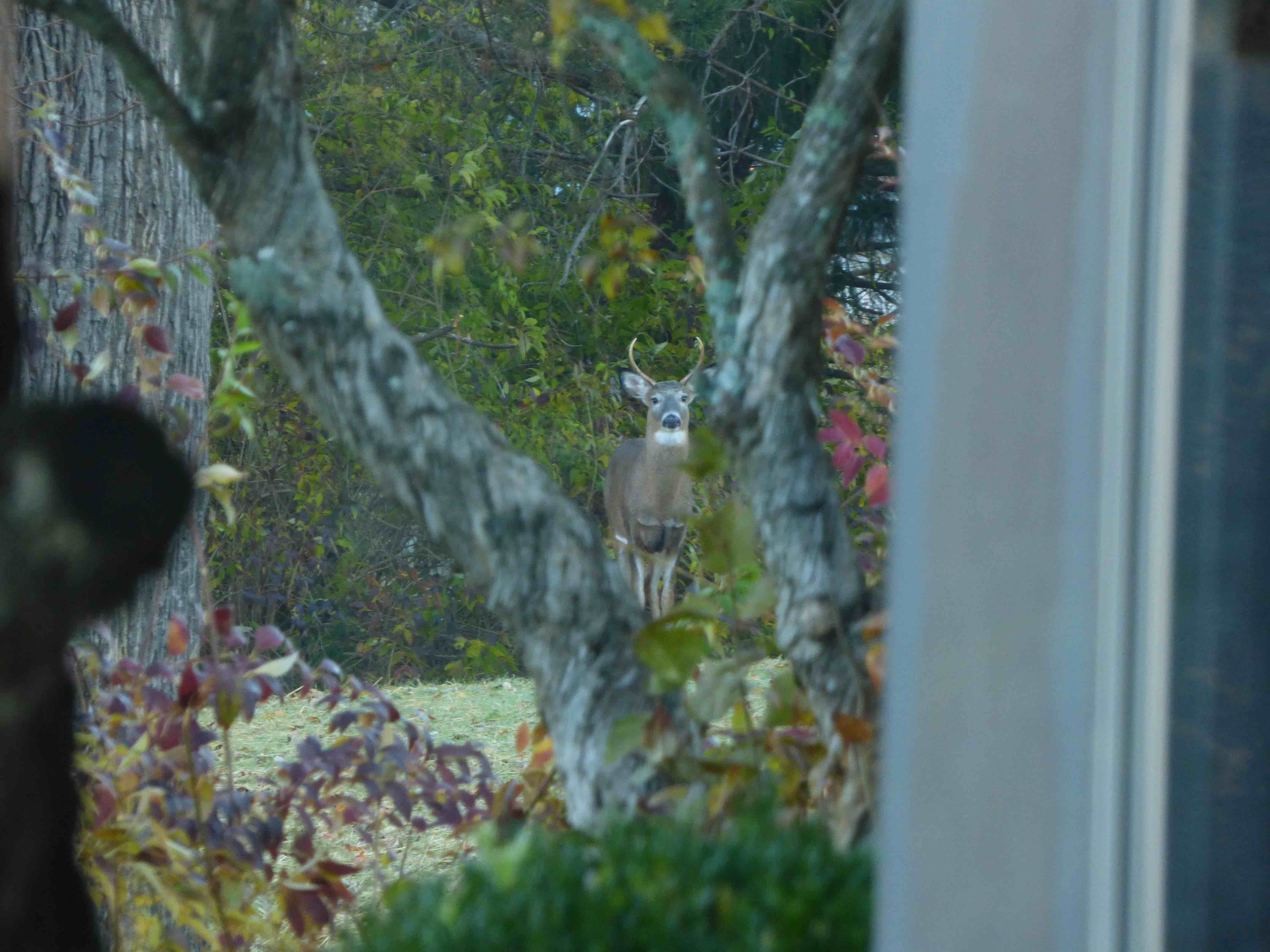 Deer looking through the window